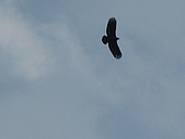 南庄:漂亮帥氣的老鷹