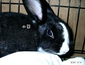 我の兔....:小黑1