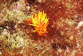 20080629東北角:首見-星珊瑚海蛞蝓,超強偽裝,如果它不動,完全看不出來的海蛞褕