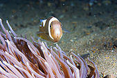 960617-960619Anilao:罕見的小丑魚,背上一抺白