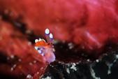20170812-0813_東北角(上) Northeast Coast,Taiwan:海蛞蝓界的小臉族