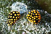20080608東北角:可愛小金龜海蛞蝓