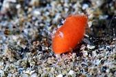 20190727-28_東北角(下) Northeast Coast,Taiwan:迷你可愛的海綿小橘,應該是不小心流浪到沙地上吧