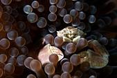 20191206-07_小琉球 Siaoliouciou,Taiwan:超淡定小瓷蟹,第2支下去牠還是待在一模一樣的位置,露出淡定的表情