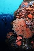 20170405 Ambon Diving 安汶潛水趣:如果牆上的星珊瑚全部開花的話,那將會美呆了