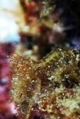 20170715-0716_東北角(上) Northeast Coast,Taiwan:與背景融為一體的奇妙螳螂蝦~ 身上有漂亮藍點, 約2cm吧~