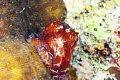 20080425Moalboal - 20080502:約4公分的小小章魚