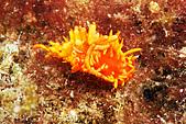 20080629東北角:連星珊瑚的孔都偽裝了,我封你為海蛞蝓界偽裝冠軍