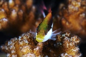 20170404 Ambon Diving 安汶潛水趣:Hawk fish小朋友,臉上長好多青春痘,哈~