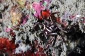 20170909-0910_東北角(下) Northeast Coast,Taiwan:另類的首見斑馬蟹,哈哈~ 正常的斑馬蟹是直條紋,這隻是橫條紋~ 奇妙的長相