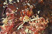 20080425Moalboal - 20080502:螃蟹