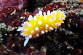 20080615東北角:又見粉嫩嬰兒色系海蛞蝓,今年阿娟看的第3隻