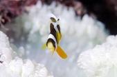 201701230-20180102_墾丁跨年潛水(潛少少):這海葵邊緣觸手的紋路,造型,對我來說很特別~隱約可看到白化前應是夢幻螢光綠,可惜了
