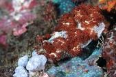 20180728-29_東北角 Northeast Coast,Taiwan (下):這軟珊瑚旁邊有開花的,兩相對映,這Nu真的偽裝的一模一樣,很強