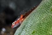 20170404 Ambon Diving 安汶潛水趣:Wow~ 這寄生蟲長得也太有趣了,4個圈圈 (身上長這個應該極不舒服)