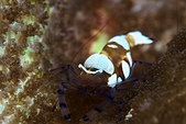 20191010_Panglao,Bohol Part 5:巨蝦,可以長到1根小指頭這麼長