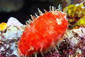 20080425Moalboal - 20080502:紅色小螺