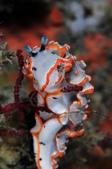 20170506-0507_東北角 Northeast Coast,Taiwan:也是東北角的基本款,牠的表情永遠很討喜:) 感覺這種珊瑚真的好美味~