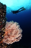 20170405 Ambon Diving 安汶潛水趣:潛水尾聲,繞著外圍峭壁緩緩上昇,仍然有美美的海扇相隨