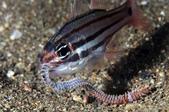 20170812-0813_東北角(上) Northeast Coast,Taiwan:天竺鯛的宵夜大餐-疑似小bobbit worm的海蜈蚣,叼去撞牆讓牠無法掙扎