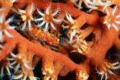 20180526-27_東北角 Northeast Coast,Taiwan (上):會隨著宿主改變體色的蝦蝦,在825很常見,顏色都不同.似乎有抱蛋