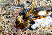 960617-960619Anilao:一種螳螂蝦