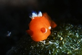 20180630-0701_東北角 Northeast Coast,Taiwan (下):小橘青蛙.很可愛~屁股花有藍色綴飾