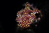 20210404-0406_墾丁 Kenting,Taiwan:沒想到赤筆仔礁是這種磁磚風Nudi的地盤,這支潛水看到3隻
