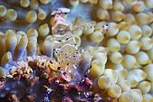20080406-08小琉球:海葵蝦