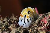 201701230-20180102_墾丁跨年潛水(潛少少):真沒想到這隻''小''海蛞蝓拍起來這麼好看! BlingBling der