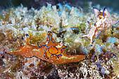 20080406-08小琉球:馬頭假眼海蛞蝓之兩小無猜