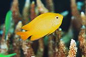 20080425Moalboal - 20080502:黃色小魚