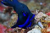 20080622東北角:花園的微笑藍黑虎蛞蝓,在另一潛點85K大出