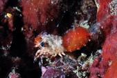 20170624-0625_東北角(下) Northeast Coast,Taiwan:膠囊蝦 - 是不是很像紅白相間的膠囊呢? 真有趣