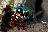 20180407_Amed_Bali 巴里島Amed潛水 (End):20180407 1st Batu Niti- Mantis shrimp