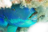 20080425Moalboal - 20080502:睡覺中的鸚哥魚,像長了鬍子,注意牠吐的那一層保護膜