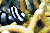 "20080425Moalboal - 20080502:""扣""頭的黑白小魚"