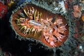 20190713-14_東北角(下) Northeast Coast,Taiwan:20190714 1st 827- 當阿星跟我說這是放大版星珊瑚時,我笑出來,很漂亮的海葵