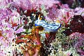 20080608東北角:首見--毛筆字海蛞蝓
