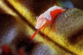 20170701-0702_東北角(上) Northeast Coast,Taiwan:肖年的帝王蝦,可是少一隻大螯,殘障手冊領了嗎?