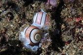 20170805-0806_東北角(上) Northeast Coast,Taiwan:今晚我終於自己發現多隻泡螺,很多都是雙雙對對的.很想知道牠們如何交配,但看不出來~