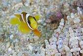 20080406-08小琉球:迷你小丑魚