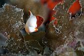 20191206-07_小琉球 Siaoliouciou,Taiwan:配色非常好看的一種幼魚,一直都很喜歡