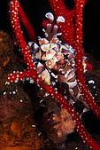 9511 BALI ISLAND TRIP :潛點-Seraya,harlequin Shrimp 每潛必看的蠟膜蝦