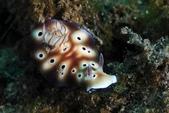 20180403_Amed_Bali 巴里島Amed潛水 Part 2:20180403 2nd Lipa - 亮點是屁股花那邊有紫色寄生蟲卵
