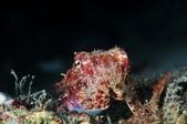 201701230-20180102_墾丁跨年潛水(潛少少):在海裏肉眼看,更是維妙維肖.與環境融為一體,不怕人,應該是對自己的偽裝功力很有信心:)