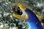 20180403_Amed_Bali 巴里島Amed潛水 Part 2:藍彩鰻