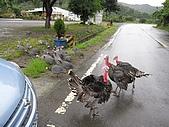 20090625國境之南最終回:竟然有一大群食火雞來擋車