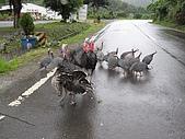 20090625國境之南最終回:食火雞的脾氣很差,一直在吵架