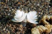 20180403_Amed_Bali 巴里島Amed潛水 Part 2:這應該是某種旋鰓管蟲吧? 沙地上有各種造型顏色